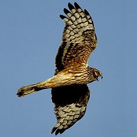 Future of Hen Harriers Hangs In Balance
