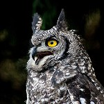 109: Spotted Eagle Owl (Turbary Woods, Preston)