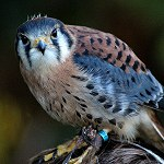 110: American Kestrel (Turbary Woods, Preston)
