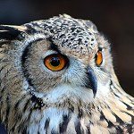 100 More Days of Nature Part 1: 112: Eurasian Eagle Owl (Turbary Woods, Preston)