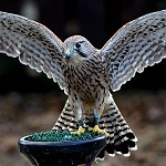 100 More Days of Nature Part 1: 113: Kestrel (Turbary Woods, Preston)