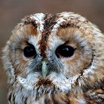 114: Tawny Owl (Turbary Woods, Preston)