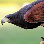 115: Harris Hawk( Turbary Woods, Preston)