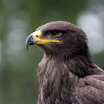 116: Steppe Eagle (Turbary Woods, Preston)