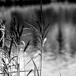 100 More Days of Nature Part 1: 119: Reeds (Old Mill Pond, Accrington)