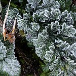 120: Frosted Leaves(Accrington)