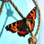 100 More Days of Nature Part 1: 121: Small Tortoiseshell Butterfly (Accrington)