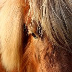 123: Minature Pony (Accrington)