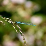 124: Damsel Fly (Accrington)