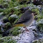 128: Grey Wagtail (Accrington)