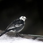 100 More Days of Nature Part 1: 129: Pied Wagtail (Accrington)