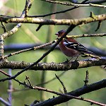 135: Chaffinch (Priestly Clough, Accrington)