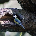 100 More Days of Nature Part 1: 136: Great Tit (Rivington Terraced Gardens)