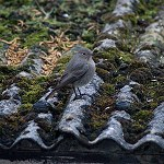 138: Black Redstart (Accrington)