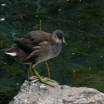 139: Moorhen (Old Mill Pond, Accrington)