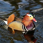 140: Mandarin Duck (Oak Hill ParkAccrington)