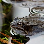 147: Common Frog (Lomeshaye Marshes, Nelson)