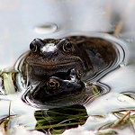148: Common Frog (Lomeshaye Marshes, Nelson)