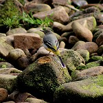 Day 52: 13th September 2014 Grey Wagtail (Trough of Bowland, Lancashire)