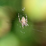 Day 54: 15th September 2014 Garden Spider (Priestly Clough, Accrington)