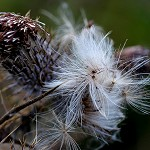 100 Days of Nature: Day 55: 16th September 2014 Thistle Seeds (Priestly Clough, Accrington)