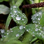 Day 57: 18th September 2014 Raindrops on leaves (Priestly Clough, Accrington)