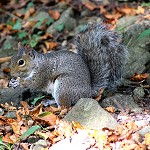 Day 67: 28th September 2014 Grey Squirrel (Clitheroe Castle)