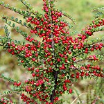 Day 68: 29th September 2014 Rockspray Cotoneaster (Salthill Quarry, Clitheroe)