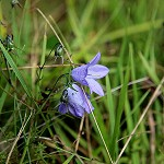 Day 72: 3rd October 2014 Harebell (Salthill Quarry, Clitheroe)