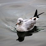 Day 76: 7th October 2014 Black Headed Gull (Old Mill Pond, Accrington)