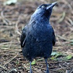 Day 79: 10th October 2014 Jackdaw (Towneley Park, Burnley)