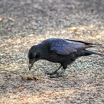 Day 81: 12th October 2014 Crow (Towneley Park, Burnley)