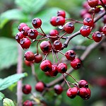 Day 83: 14th October 2014 Rowan Berries (Priestly Clough, Accrington)