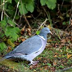 100 Days of Nature: Day 84: 15th October 2014 Wood Pigeon (Milnshaw Park, Accrington)