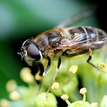 Day 85: 16th October 2014 Hoverfly/Drone Fly (Rhyddings Park, Oswaldtwistle)