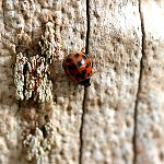 Day 86: 17th October 2014 Ladybird (River Calder, Whalley)