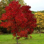 Day 88: 19th October 2014 Red Maple Trees (Towneley Park, Burnley)
