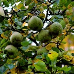 Day 91: 22nd October 2014 Apple Tree (Towneley Park, Burnley)