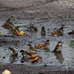 100 Days of Nature: Day 92: 23rd October 2014 Sparrows Bathing (Whalley)