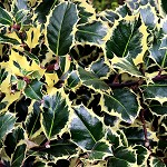 Day 93: 24th October 2014 Variegated Holly (Whalley)