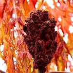100 Days of Nature: Day 95: 26th October 2014 Staghorn Sumac Fruit (Accrington)