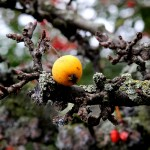 Day 98: 29th October 2014 Yellow Tree Berry (Accrington)