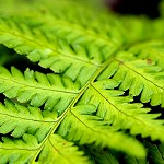 100 Days of Nature: Day 99: 30th October 2014 Fern Leaf (Accrington)