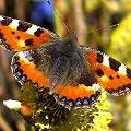 Butterfly/Caterpillar