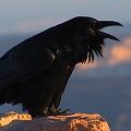 Crow/Rook