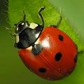 Beetle/Ladybird
