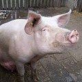 Pig/Boar