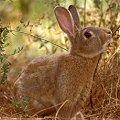 Rabbit/Hare