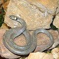 Snake/Serpent