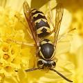 Wasp/Hornet